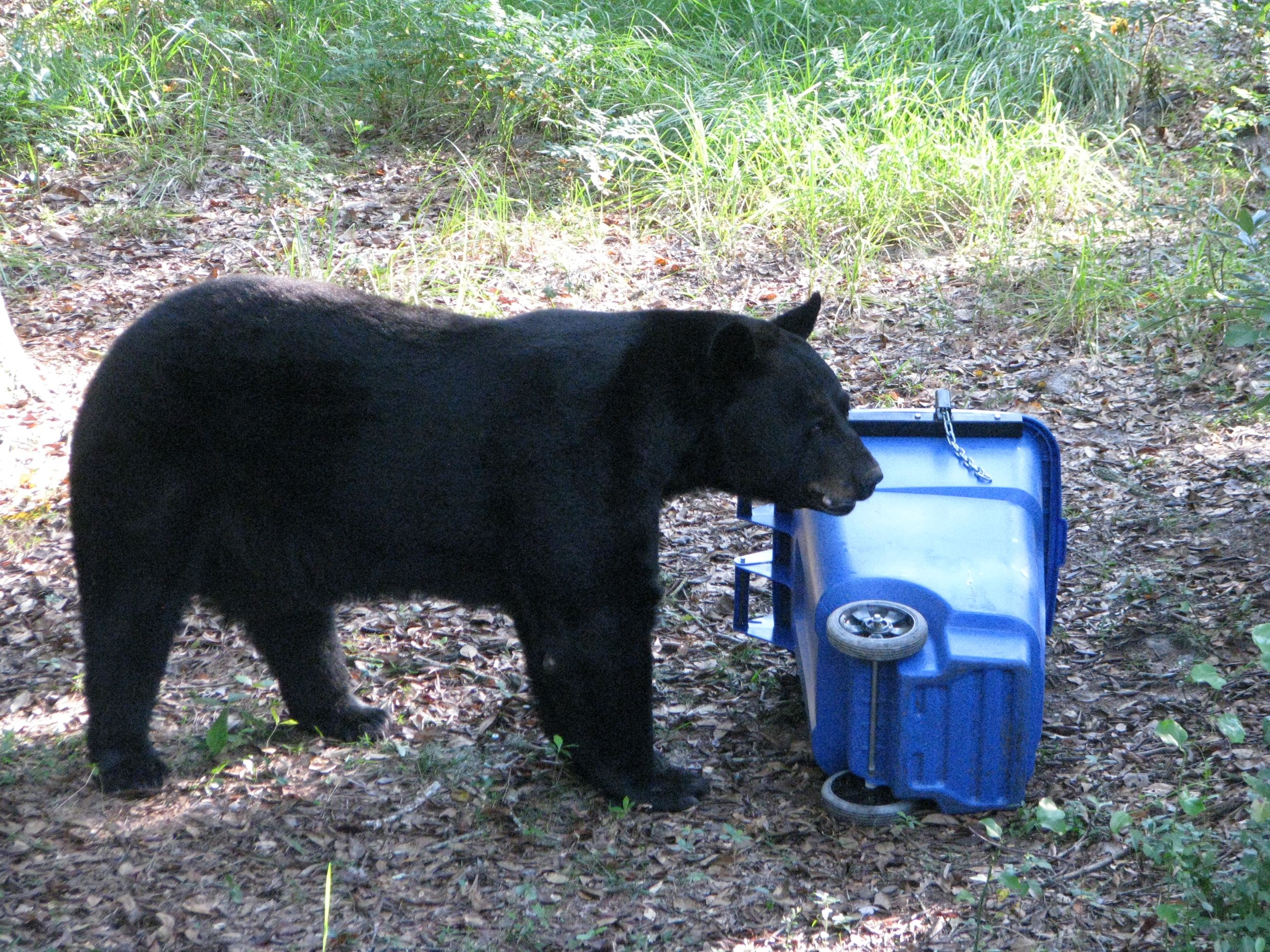 Black Bear with Trash Can